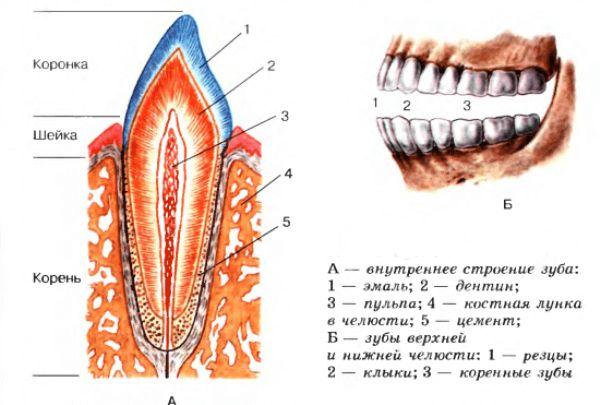 як виглядають зуби