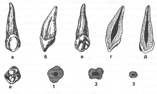 малюнок будова зуба людини