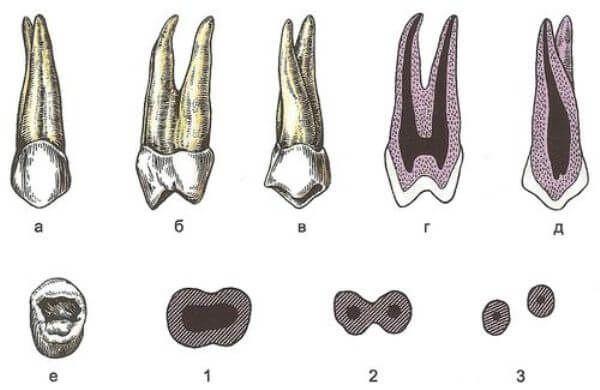 картинка будови зуба людини