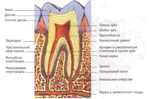 гістологічну будову зубів