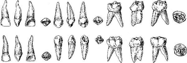 будову молочних зубів дитини